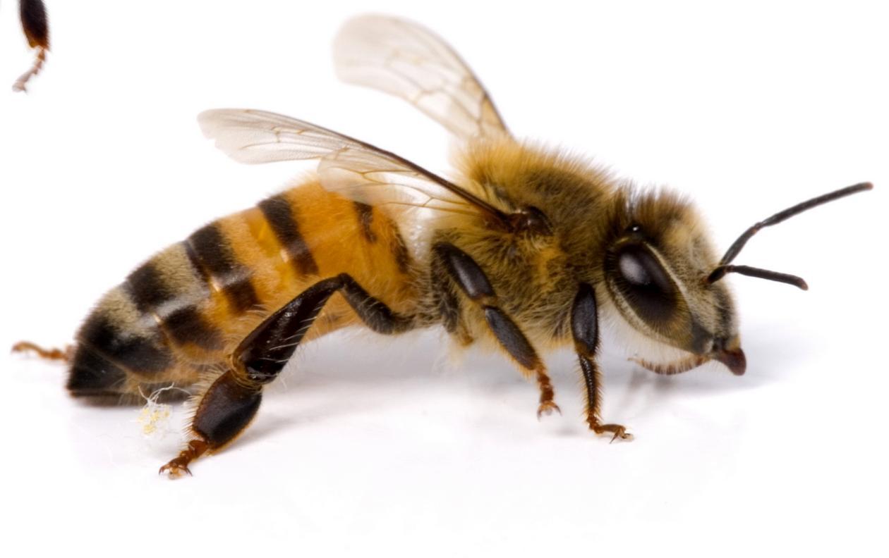Medidas preventivas para alérgicos a himenópteros